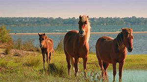 Stop No. 20 | Sail to Shackleford Banks and watch wild horses run free